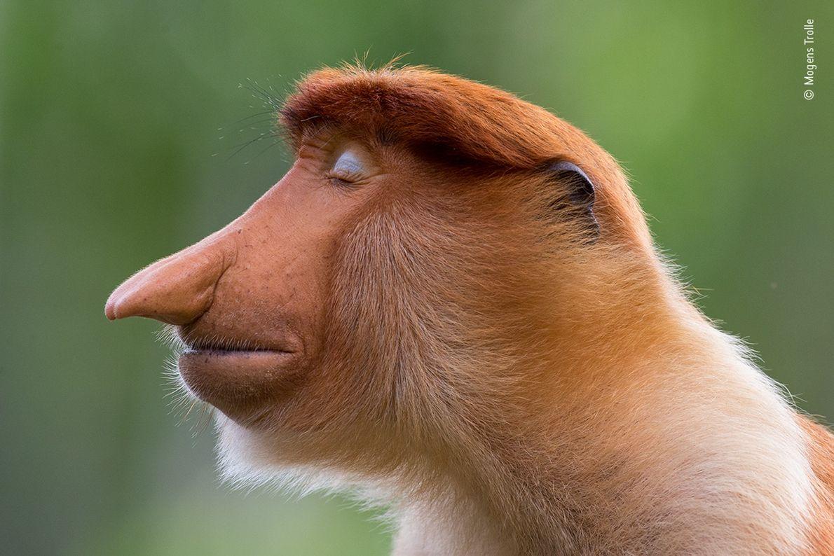 Um jovem macaco-narigudo fecha as suas pálpebras azuis claras. Esta fotografia, captada por Mogens Trolle, da ...
