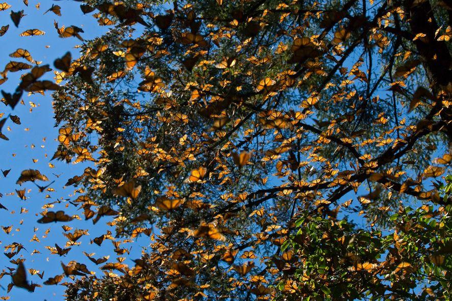 Milhões de borboletas-monarca orientais migram quase 5 mil quilómetros para passarem o inverno nas florestas de ...