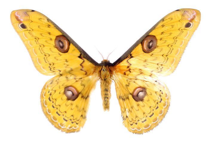Uma Lopea megacore, uma espécie de mariposa encontrada no continente asiático.