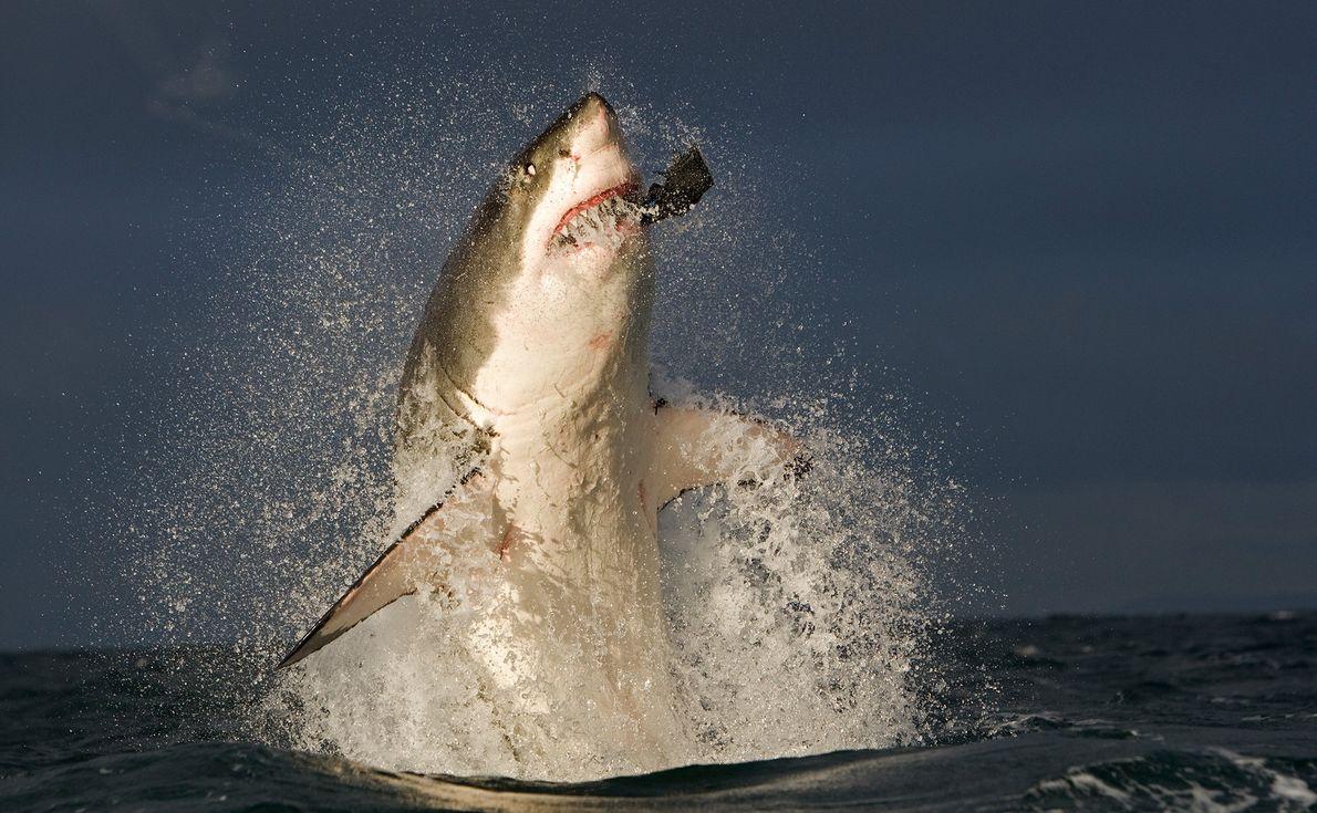 Um grande tubarão-branco apanha uma foca de engodo que foi lançada por investigadores. Estes predadores são ...