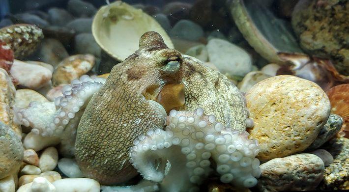 Este jovem polvo-comum do Atlântico foi fotografado no Centro BioMarinho Pescanova, o laboratório de investigação e ...