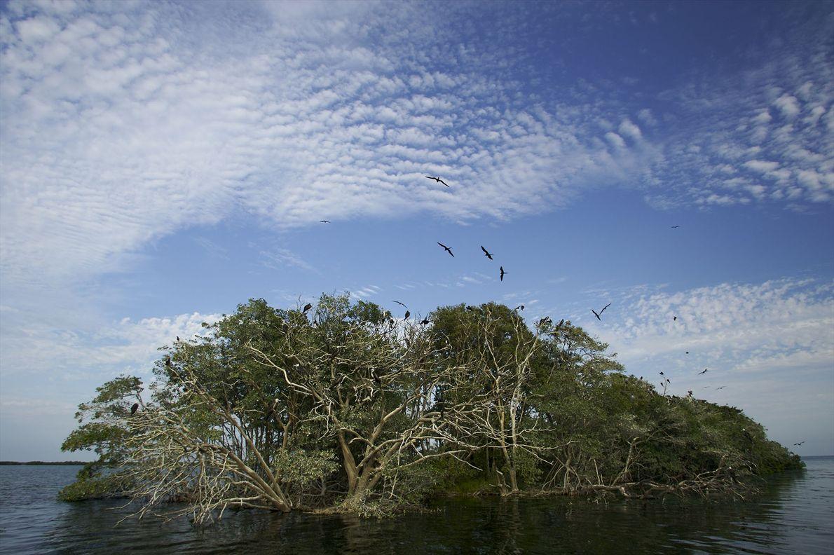 As raízes dos mangais podem também ancorar a formação de ilhotas.