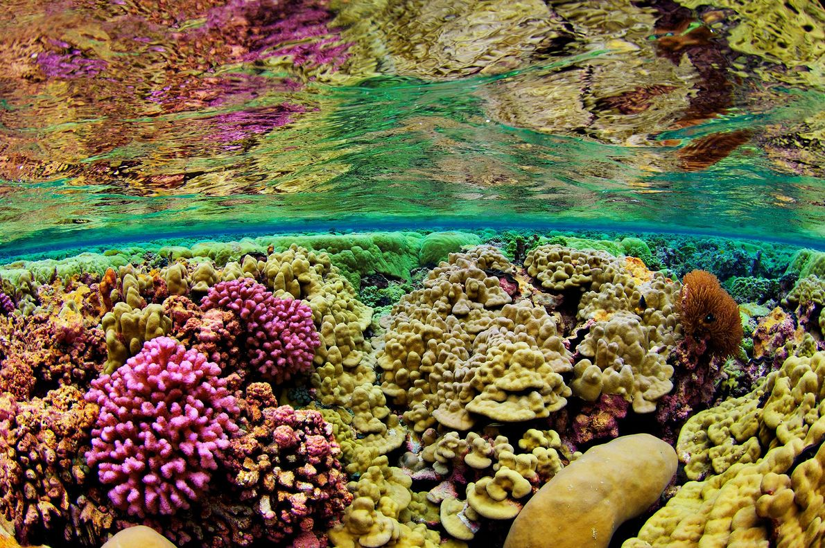 O leito do mar no Recife Kingman é alcatifado por corais duros, nas Ilhas-da-linha do norte, ...