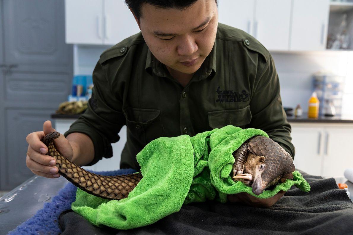 O veterinário Lam Kim Hai trata de um pangolim que ficou preso numa armadilha de um ...