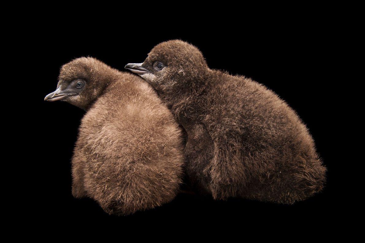 Crias de pinguim-azul (Eudyptula minor)