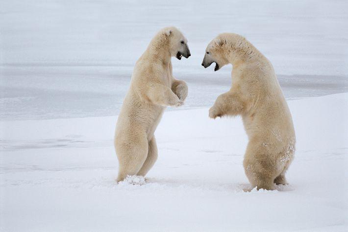 Ursos-polares a lutar na baía de Hudson, no Canadá. Estes predadores enormes evoluíram para viver e ...