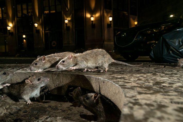 Ratos a emergirem de uma fenda no passeio de Pearl Street, na cidade de Nova Iorque.