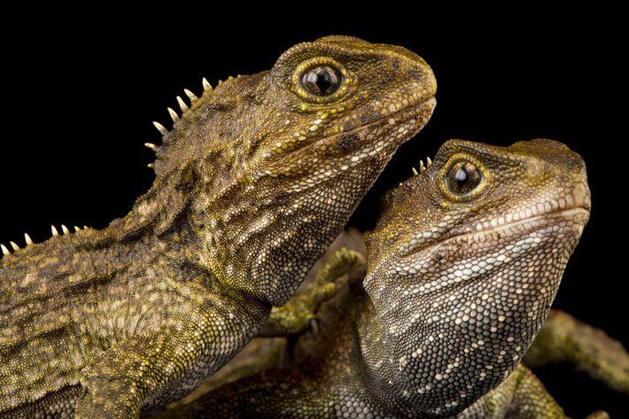 Duas tuataras, Sphenodon punctatus, no Jardim Zoológico de Wellington Zoo