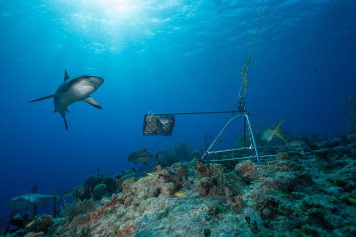 Os tubarões-dos-recifes das Caraíbas, outrora os tubarões mais abundantes na região, diminuíram durante as últimas décadas.