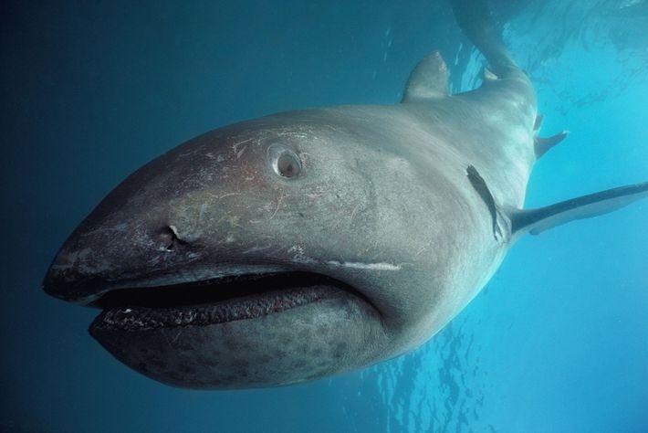 Um tubarão-boca-grande.