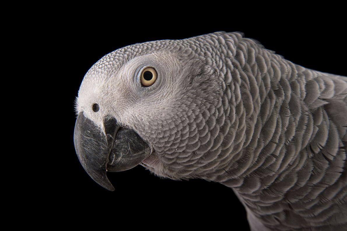 Papagaio-cinzento, psittacus erithacus erithacus