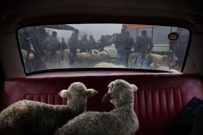 Um par de cordeiros olhando fixamente pela janela de um carro, num mercado de gado, em ...