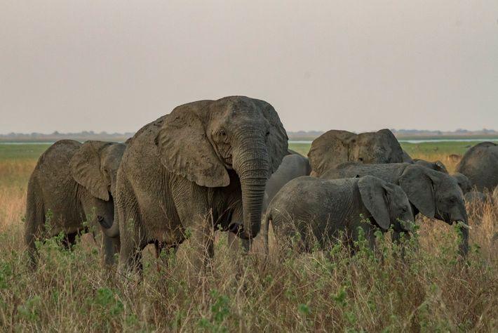 Uma matriarca sem presas desloca-se com as suas crias, numa planície do Parque Nacional de Gorongosa. ...