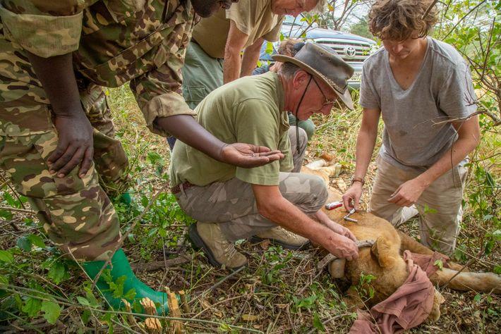 Ludwig Siefert, veterinário de vida selvagem, trabalhava com Nicholas Nuwaijuka (à esquerda), guarda florestal da Autoridade ...