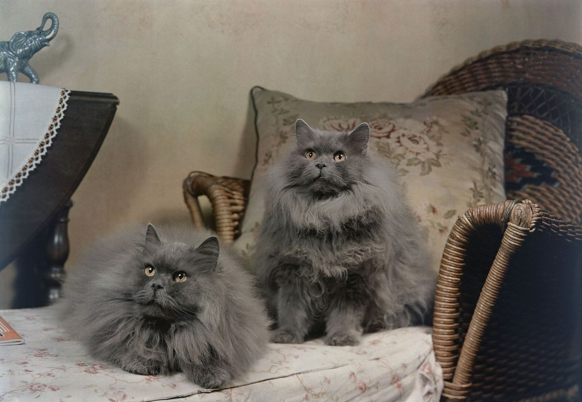 Dois gatos persas azuis.