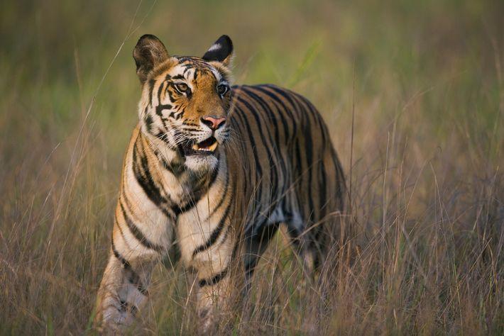 Os tigres são capazes de ficar duas semanas sem comer e, quando caçam uma presa, podem ...