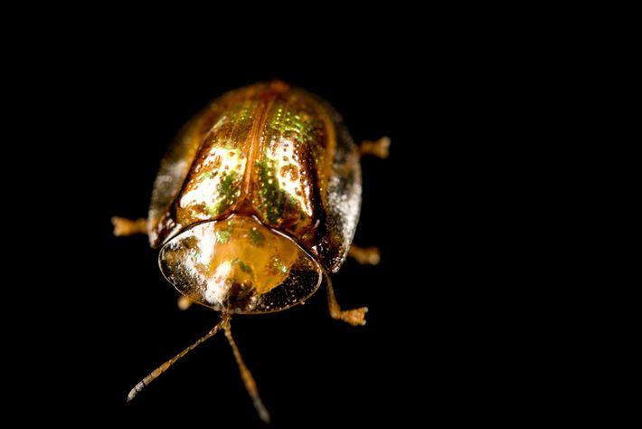 O besouro-de-ouro.