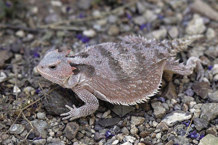 Um lagarto-de-chifres, Arizona, EUA