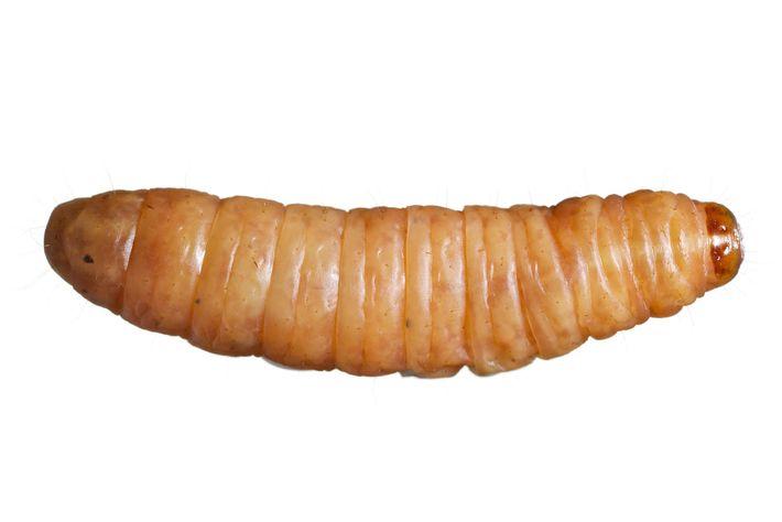 Larva de Cera