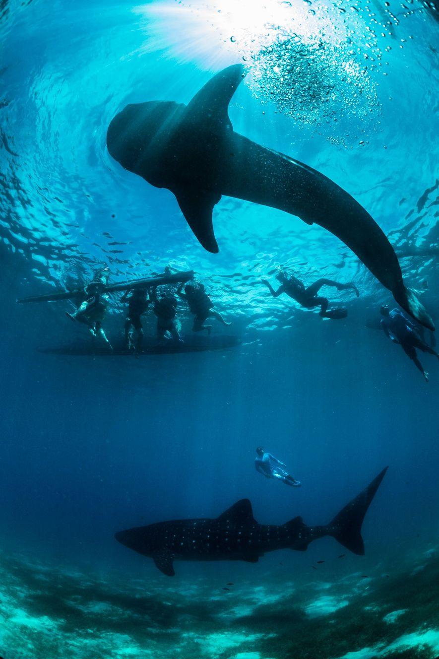 Os tubarões-baleia são uma espécie protegida nas Filipinas desde 1998, mas a caça furtiva continua a ...