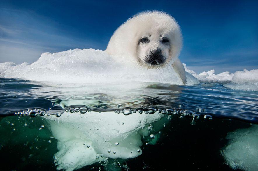 Uma cria de foca-da-Gronelândia aguarda pacientemente pelo regresso da mãe no Golfo de St. Lawrence. As ...