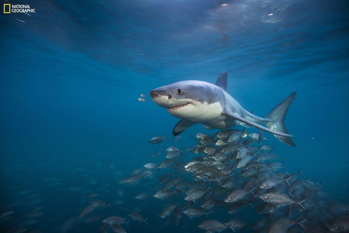Fotografia de um cardume de xaréus por baixo de um tubarão