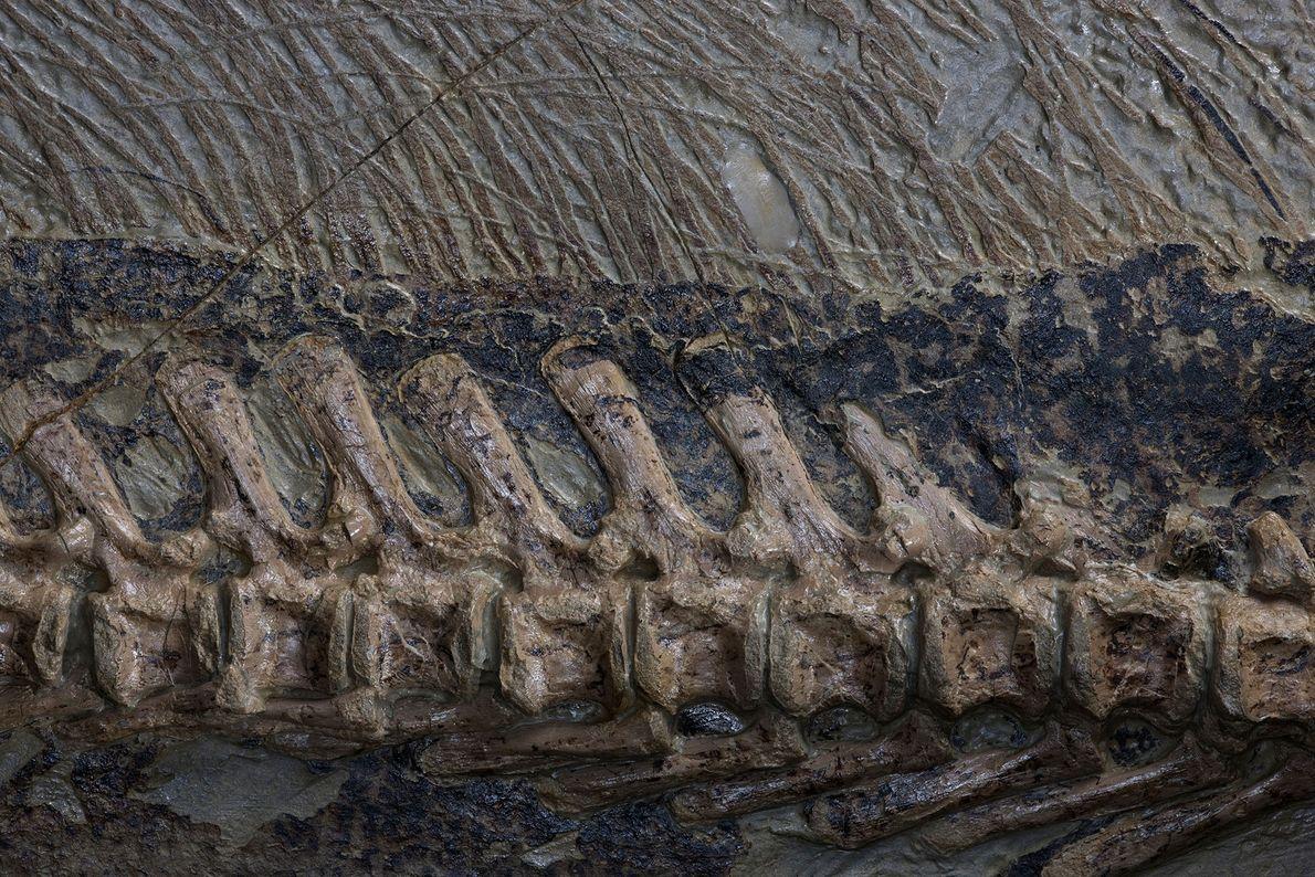 Uma imagem ampliada mostra as cerdas da espinha e da cauda de um fóssil do dinossauro ...