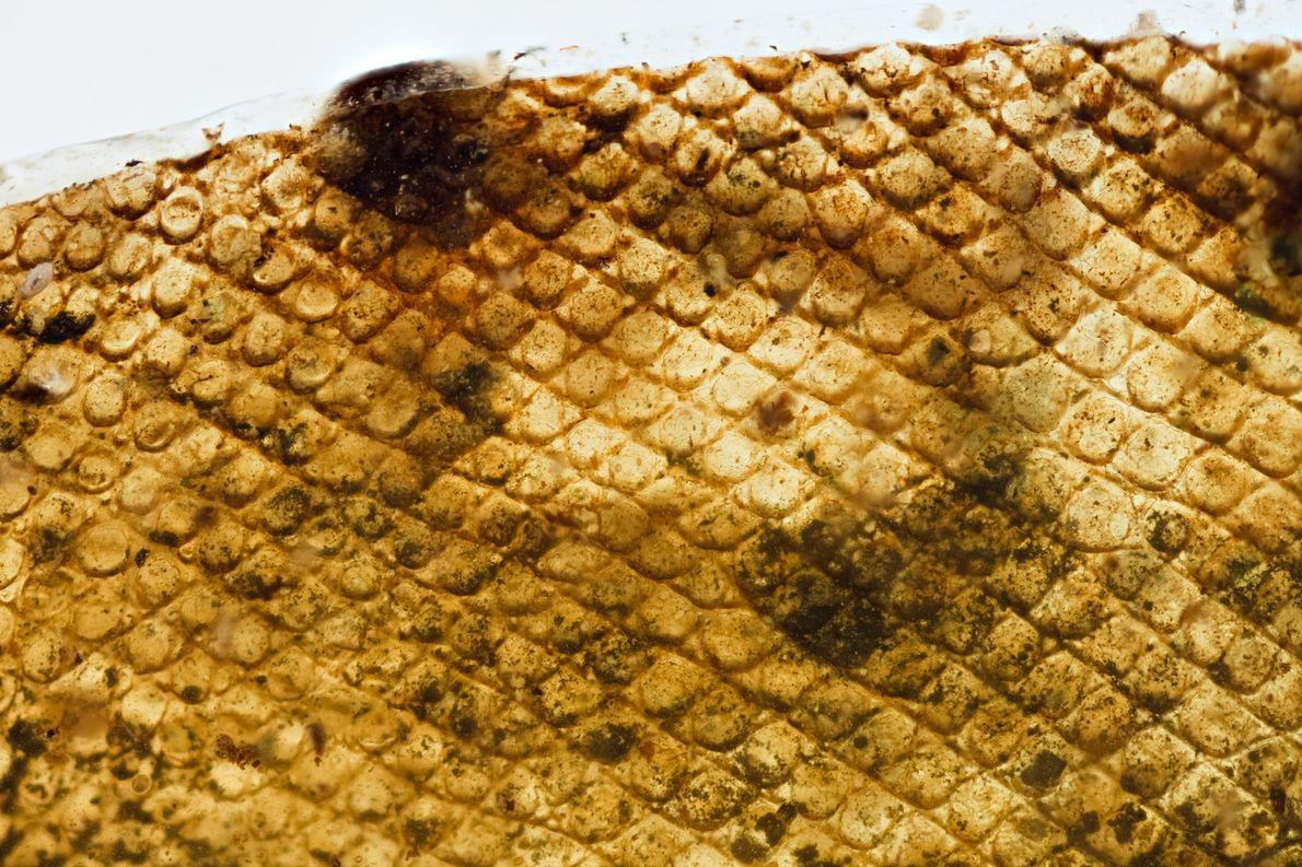 A pele antiga permite observar as escamas e alguma pigmentação.