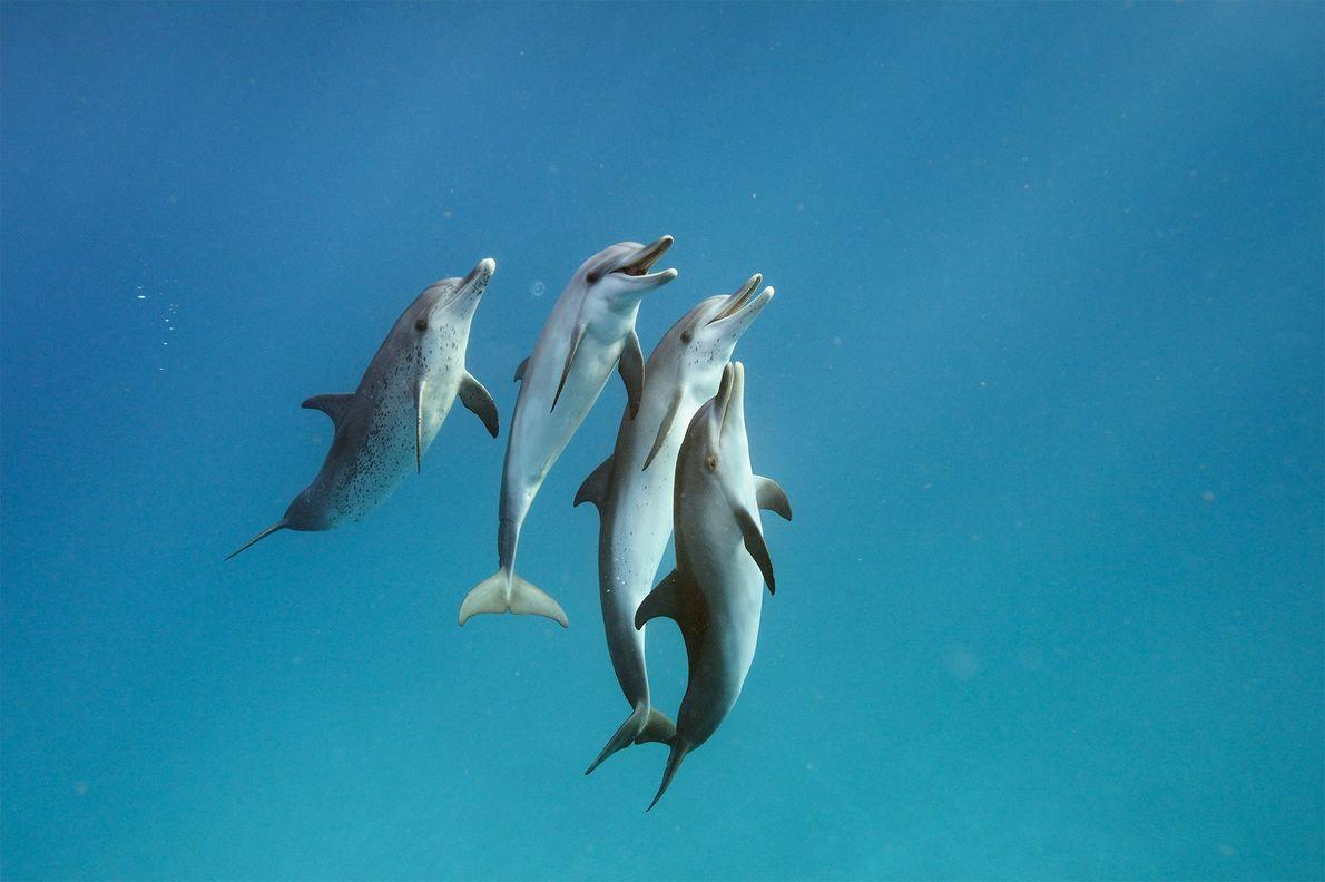 Os golfinhos-pintados-do-Atlântico, Stenella frontalis, ao largo de Bimini, nas Bahamas.