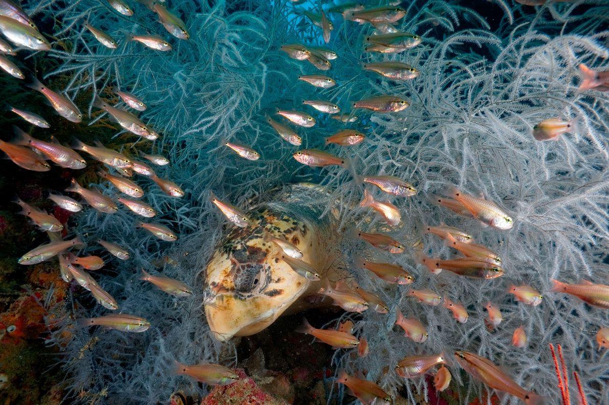 Um cardume de alcarrazes passa sobre uma tartaruga-cabeçuda, enquanto esta repousa sobre invertebrados com penugem, conhecidos …