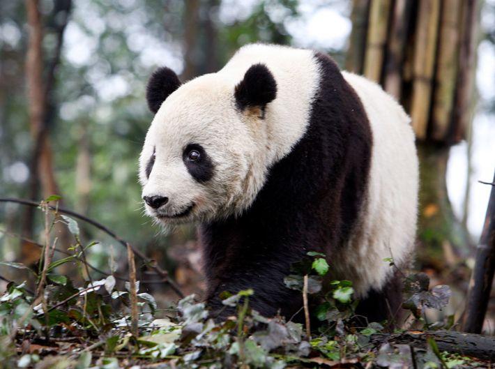 O primogénito de Mei Xiang, Tai Shan, na Bifengxia Panda Base, uma instalação de criação de ...