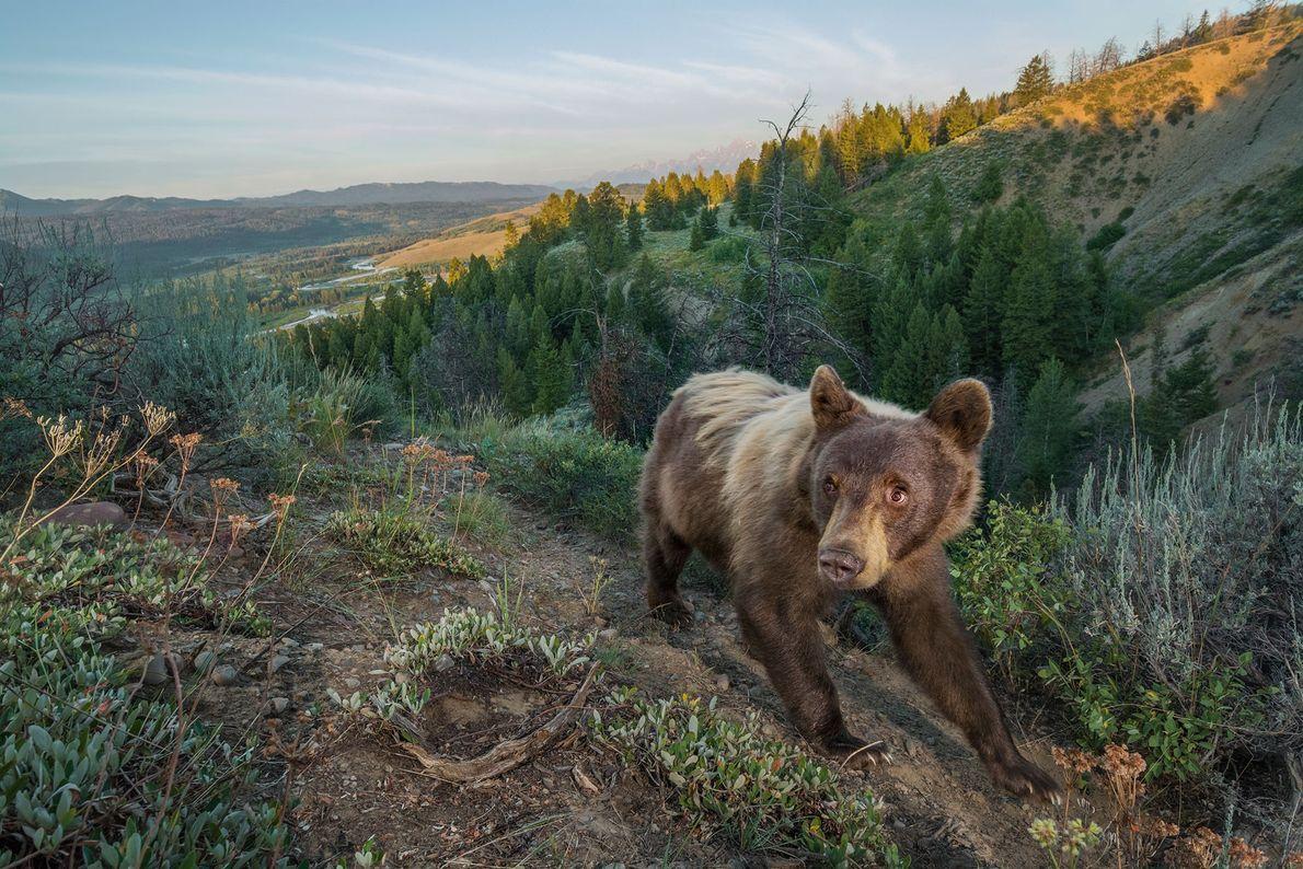 Um urso-pardo passeia num trilho, no Parque Nacional do Grande Teton