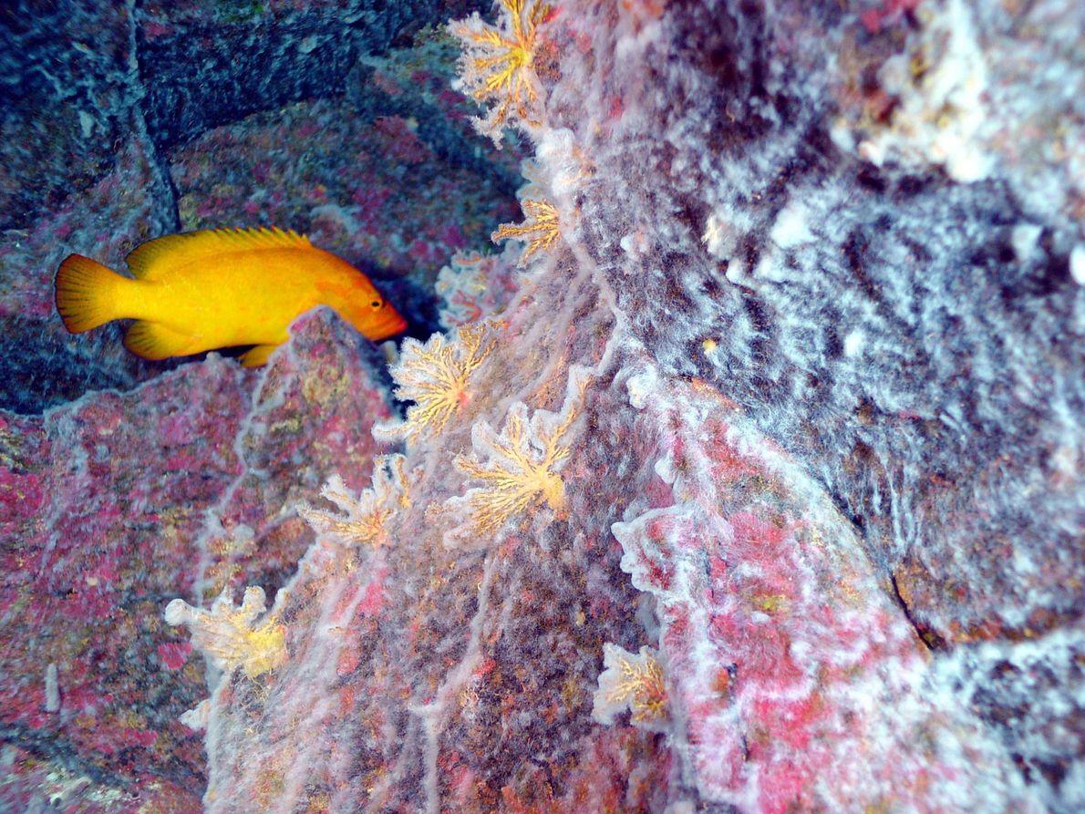Um manto microbiano cobre um recife de coral numa sobreposição bizarra de habitats, a 190 metros ...