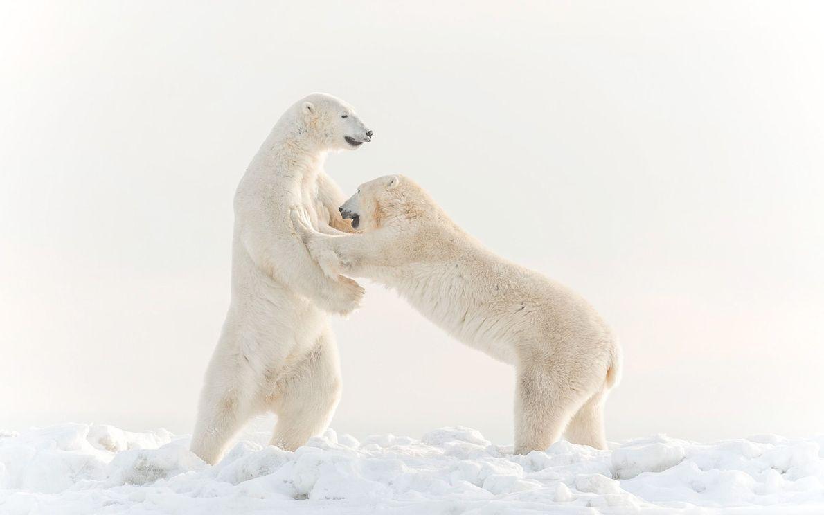 Dois ursos-polares macho