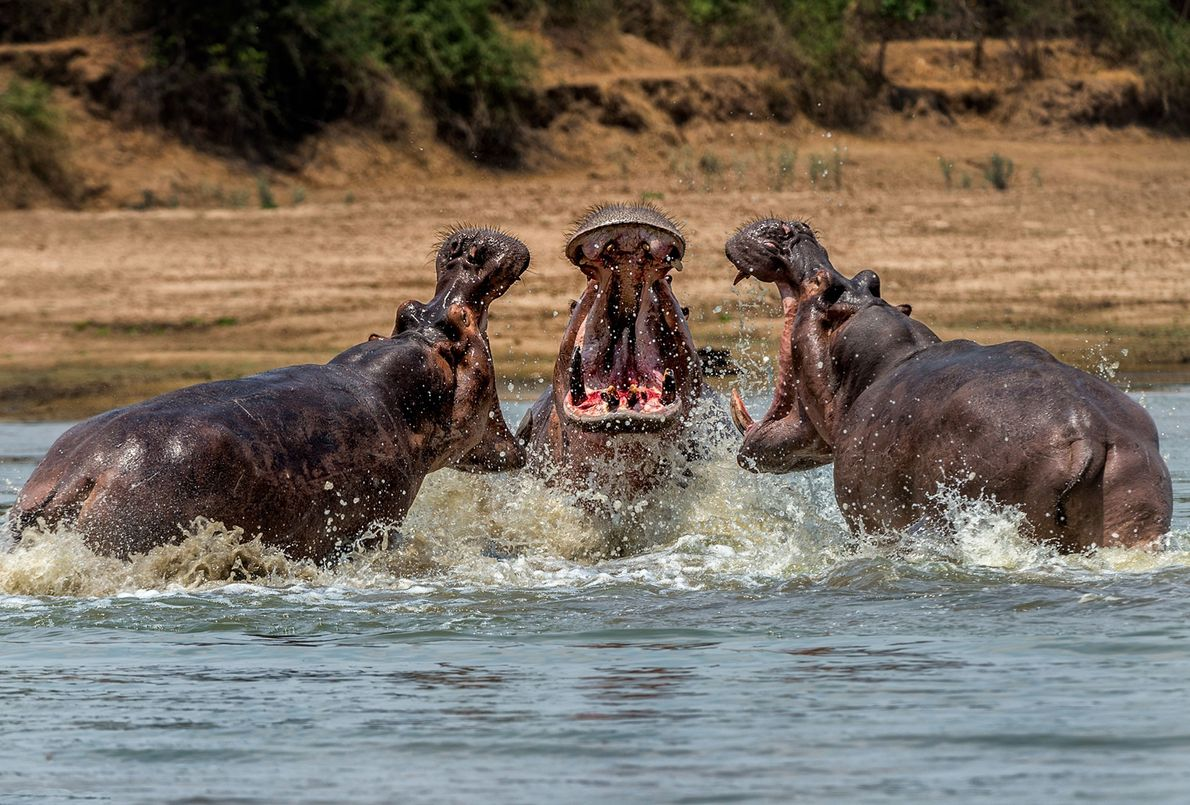 Hipopótamos confrontam-se na Zâmbia.