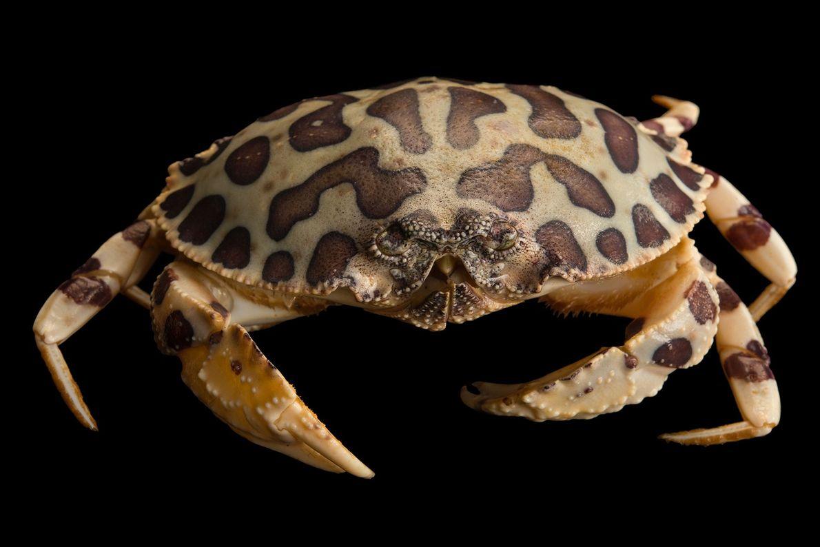 As manchas do caranguejo-leopardo, aqui fotografado no Gulf Specimen Marine Lab Aquarium, na Flórida, ajudam-no a ...