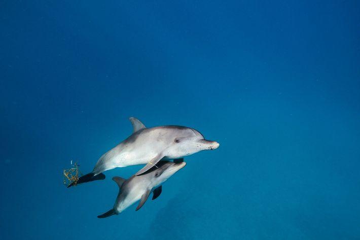 Jovens Golfinhos no Atlântico