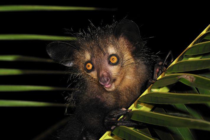 Os porcos-formigueiros, como este em Mananara, em Madagáscar oriental, já tiveram um primo muito maior.