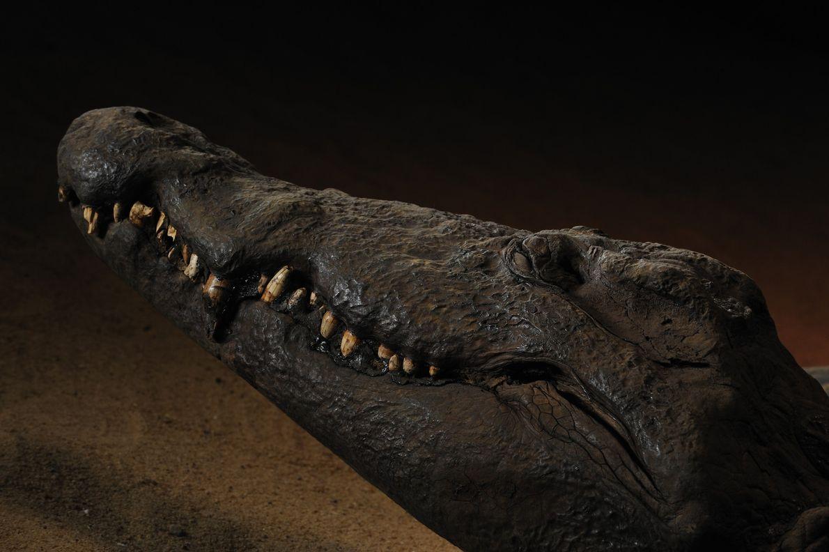 Múmia de crocodilo