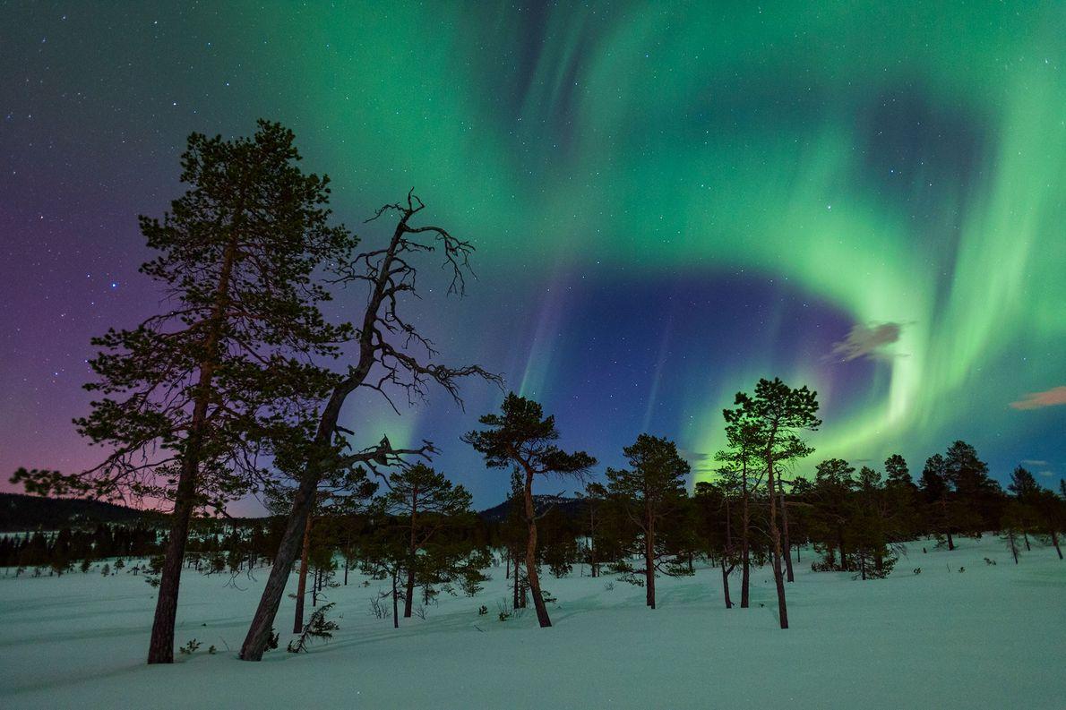 Pinheiros-silvestres permanecem firmes sob um céu repleto de auroras em Gjenvollhytta, na Noruega.
