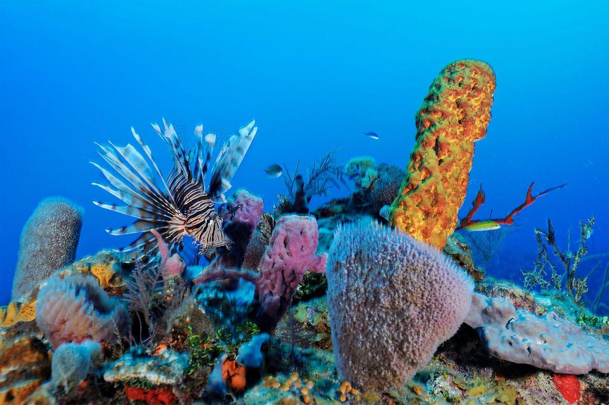 Peixe-dragão-leão num dos recifes de Belize