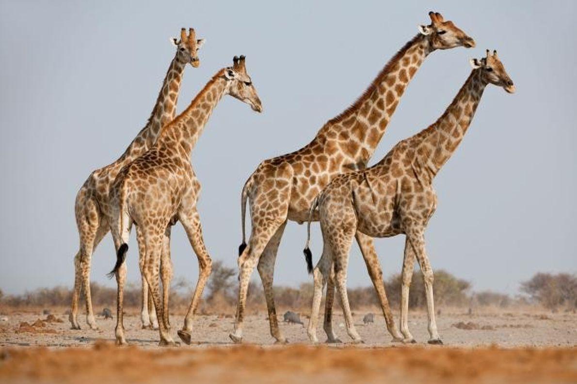 Um grupo de girafas macho.