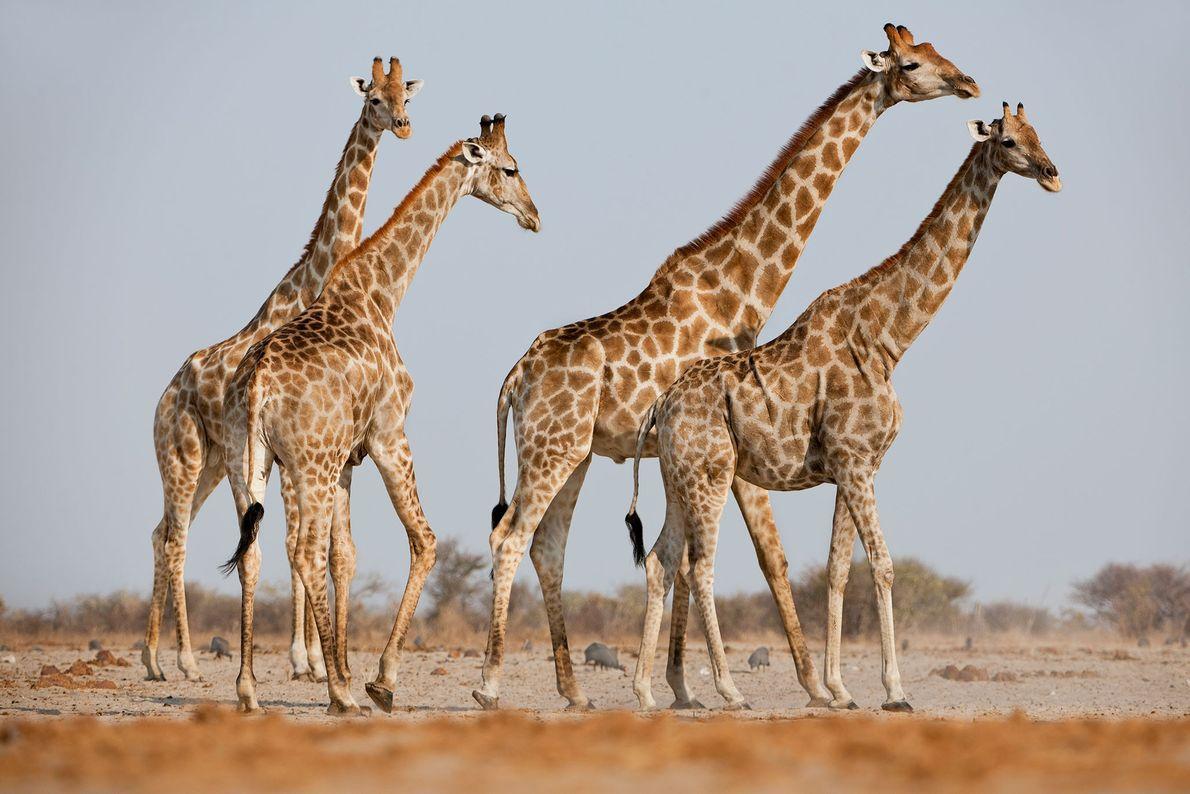 Girafas no Parque Nacional Etosha, na Namíbia.