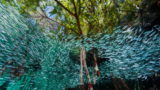 Exemplares de Menidia menidia, um peixe de pequena dimensão de tom prateado, nadam em círculo num ...