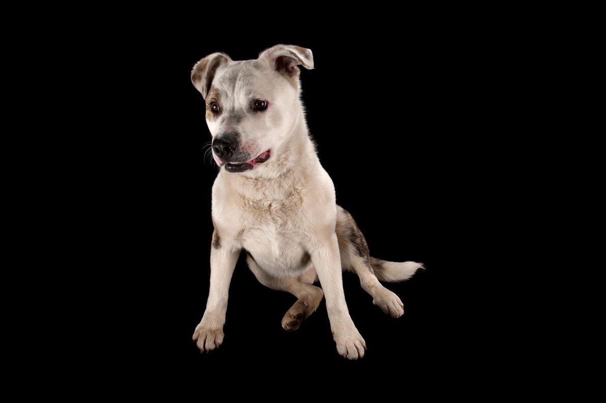 Um cão arraçado de akita e pit bull.