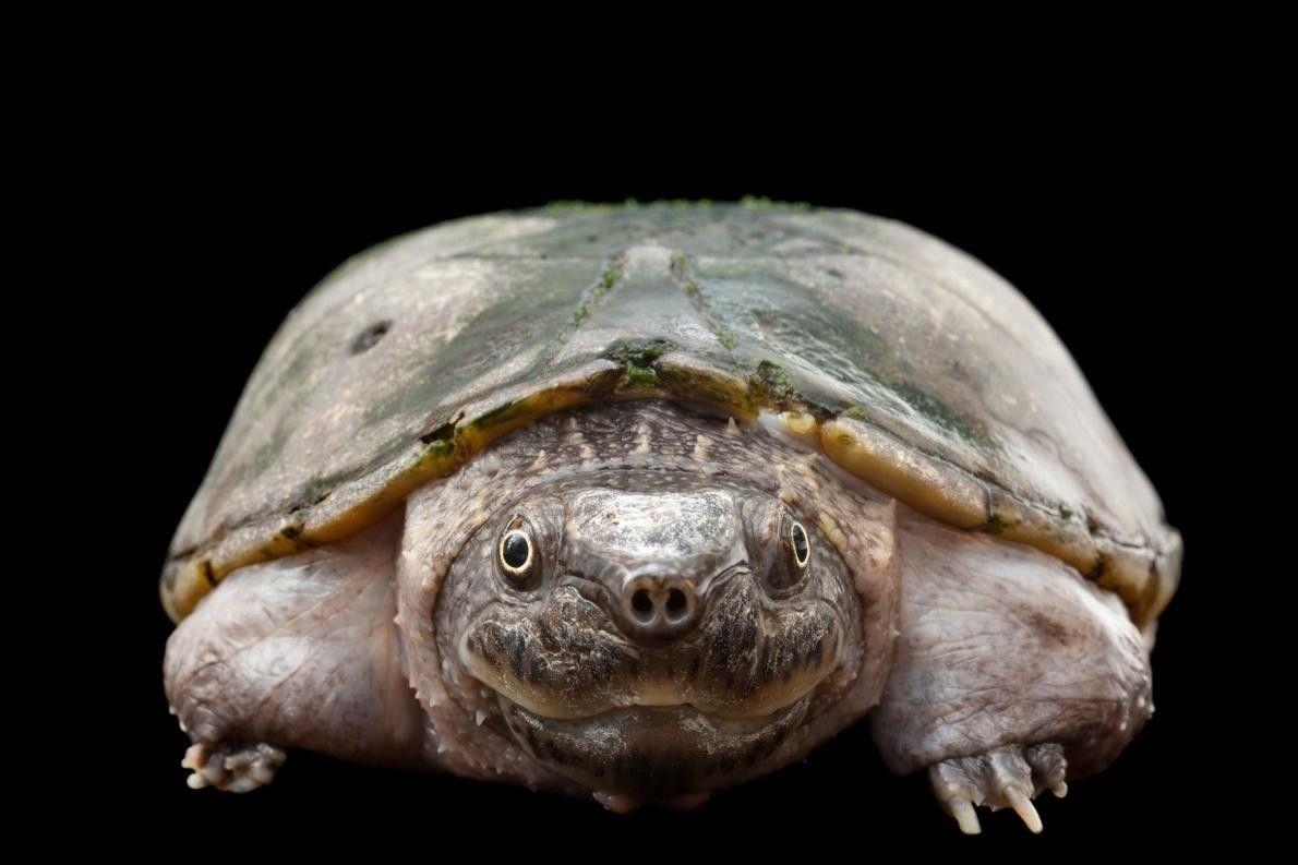 Uma tartaruga-almiscarada-achatada (Sternotherus depressus), em vias de extinção.