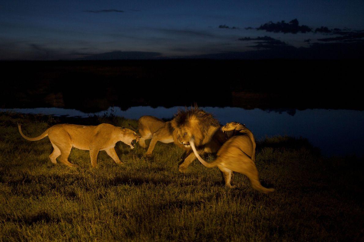 As leoas do grupo Vumbi, sob tensão e ferozmente protetoras das suas crias, irritam-se com C-Boy, ...