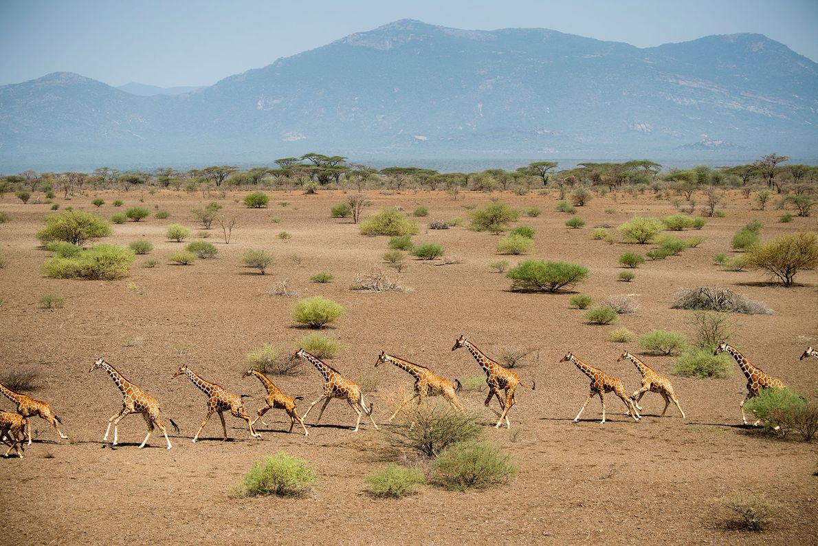 Girafas a correr.