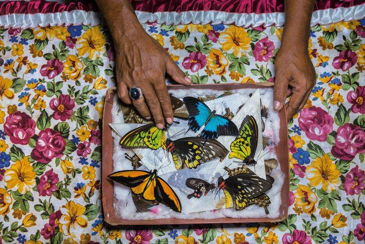 Na ilha de Bacan, na Indonésia, um caçador de borboletas classifica os seus espécimes, para vender ...