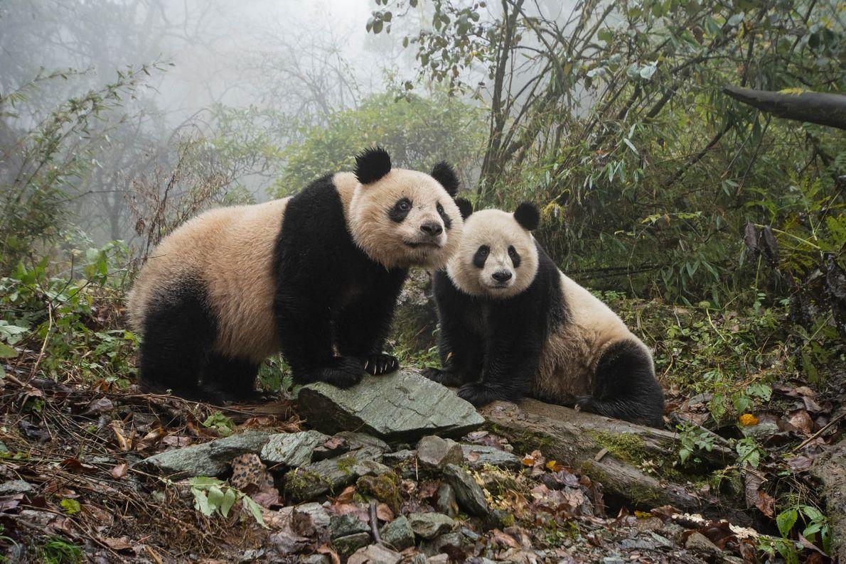 Um panda gigante